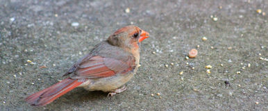 Immature Male Cardinal on sidewalk Stock Photos