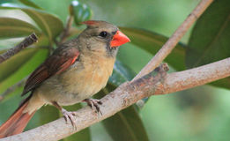 Immature Male Cardinal-Tree branch. Immature male Cardinal on a tree branch getting ready to try to fly Stock Images