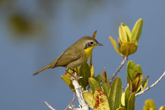 Immature Male Common Yellowthroat - Merritt Island, Florida. Immature Male Common Yellowthroat Geothlypis trichas perched in a shrub next to a pond - Merritt Royalty Free Stock Image