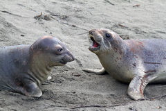Seals. Immature Male Elephant Seal Confrontation On Sandy Beach Royalty Free Stock Photos