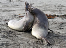 Seals. Immature Male Elephant Seal Confrontation On Sandy Beach Stock Image