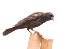 Immature male Red-Winged Blackbird Royalty Free Stock Photo