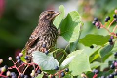 Immature Male Red Winged Blackbird on Pagoda Dogwood Royalty Free Stock Photo