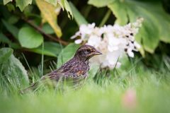 Immature Male Red Winged Blackbird with White Flowers Royalty Free Stock Photos