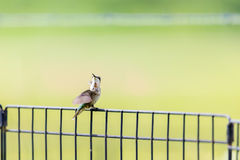 An immature male Ruby-throated hummingbird perched on a fence royalty free stock photo