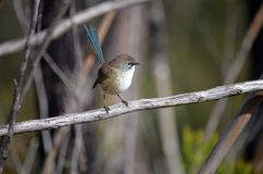 Immature male Superb Fairy Wren royalty free stock photography