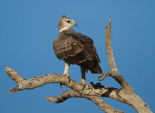 Immature Martial Eagle (Polemaetus bellicosus). On the lookout from a dead tree stock photo