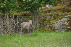 Immature Moose Stock Photography