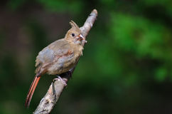 Immature Northern Cardinal Royalty Free Stock Images