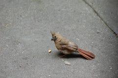 Immature Northern Cardinal, Cardinalis cardinalis Stock Photo