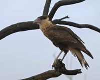 An Immature Northern Crested Caracara, Caracara cheriway Royalty Free Stock Images