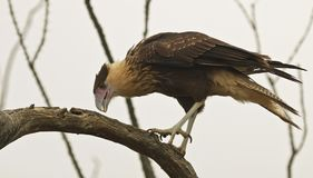 An Immature Northern Crested Caracara, Caracara cheriway. On an Old Mesquite Snag stock image