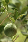 Immature oranges. Photos of immature oranges work stock photo