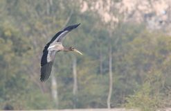 Immature painted stork bird. Immature painted stork flying with full energy. different style of flying Royalty Free Stock Photos