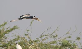 Immature painted stork bird. Flying upon  tree. bird colour are so beautiful, grey, black or blue, peal are light yellow with grey Stock Photography
