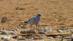 Immature Pale Chanting goshawk Melierax canorus, Kalahari desert, South Africa royalty free stock photography