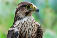Immature peregrine Royalty Free Stock Image