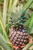 Unripe Pineapple Attached to its Parent Plant. An immature pineapple Ananas comosus still growing on the stalk of its parent plant royalty free stock image