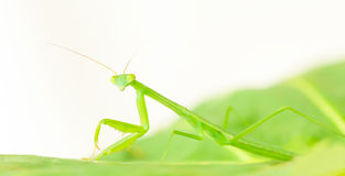 Immature praying mantis nymph closeup Royalty Free Stock Photography