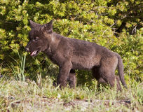 Immature puppy wolf Stock Photography
