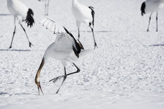 Immature Red Crowned Crane Dance Rehearsal royalty free stock photos