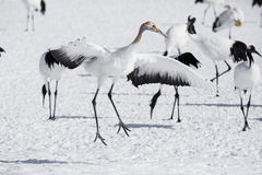 Immature Red Crowned Crane Imitating Courtship Dance Stock Photos