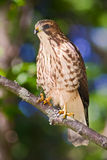 Immature red tailed hawk (Buteo jamaicensis). Young red tailed hawk (eastern morph) showing first year plumage, perched on a branch at the edge of the forest Royalty Free Stock Photography