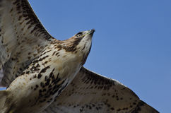 Immature Red-Tailed Hawk Flying in Blue Sky Royalty Free Stock Photography