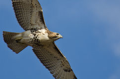 Immature Red-Tailed Hawk Flying in Blue Sky. Close Up of an Immature Red-Tailed Hawk Flying in Blue Sky Stock Image