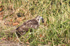 Immature Red Tailed Hawk with a mole Royalty Free Stock Images