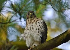 Immature Red-tailed Hawk Perched in Tree royalty free stock photography