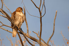 Immature Red-tailed Hawk Royalty Free Stock Photography