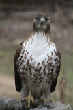 Immature Red-Tailed Hawk Stock Photo