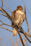 Immature Red-tailed Hawk Stock Photography