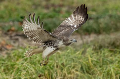 Immature Red Tailed Hawk taking off Stock Photography