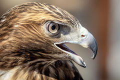 Immature Red Tailed Hawk Stock Images