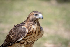 Immature Red Tailed Hawk Royalty Free Stock Photography