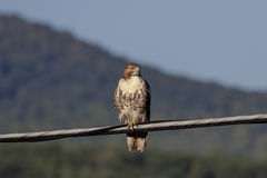 Immature Red Tailed Hawk on a wire Royalty Free Stock Photos