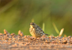 Immature Red-throated Pipit (Anthus cervinus) Royalty Free Stock Photos