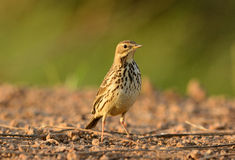 Immature Red-throated Pipit (Anthus cervinus) Stock Photo