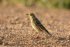 Immature Red-throated Pipit (Anthus cervinus) Royalty Free Stock Images