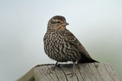Immature Red-winged Blackbird Stock Photos
