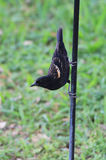 Immature Red-winged Blackbird Stock Images