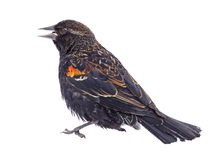 Immature Red-winged Blackbird. Immature male red-winged blackbird, agelaius phoeniceus, isolated on white Royalty Free Stock Images