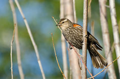 Immature Red-Winged Blackbird Stock Image