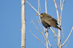 Immature Red-Winged Blackbird Stock Photography