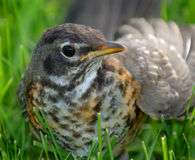 Immature Robin in grass. Immature robin sitting in grass royalty free stock image