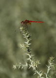 Immature ruddy darter, sympetrum sanguineum, in Stock Photo
