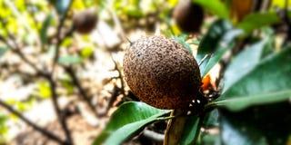 Immature sapodilla fruit royalty free stock photography