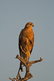 Immature Southern Pale Chanting Goshawk perched. In late afternoon sun; Melierax canorus Stock Photo